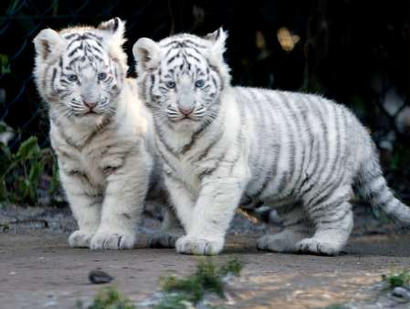 tigercubs.jpg